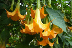 Κίτρινα λουλούδια σαλπίγγων αγγέλου Στοκ φωτογραφία με δικαίωμα ελεύθερης χρήσης
