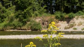 Κίτρινα λουλούδια σε ένα υπόβαθρο του ποταμού φιλμ μικρού μήκους