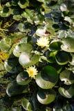 Κίτρινα λουλούδια στα μαξιλάρια της Lilly Στοκ Φωτογραφίες