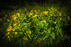 Κίτρινα λουλούδια στη χλόη στοκ εικόνες