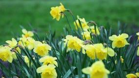 Κίτρινα λουλούδια στον αέρα απόθεμα βίντεο