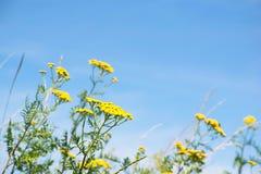 Κίτρινα λουλούδια στον τομέα με τις χλόες και το υπόβαθρο μπλε ουρανού Στοκ Εικόνες