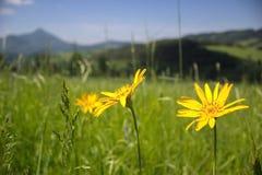 Κίτρινα λουλούδια στο ηλιόλουστο λιβάδι Στοκ Εικόνες