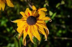 Κίτρινα λουλούδια στο θερινό κήπο Στοκ Εικόνες