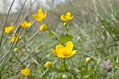 Κίτρινα λουλούδια στο λιβάδι λόφων Στοκ φωτογραφίες με δικαίωμα ελεύθερης χρήσης
