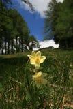 Κίτρινα λουλούδια στο πράσινο λιβάδι βουνών Στοκ φωτογραφία με δικαίωμα ελεύθερης χρήσης