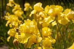 Κίτρινα λουλούδια 02 της Iris Στοκ Εικόνες