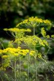 Κίτρινα λουλούδια του άνηθου κλείστε επάνω Στοκ Εικόνες