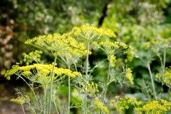 Κίτρινα λουλούδια του άνηθου κλείστε επάνω Στοκ Φωτογραφίες
