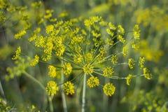 Κίτρινα λουλούδια του άνηθου (Anethum graveolens) Στοκ εικόνα με δικαίωμα ελεύθερης χρήσης