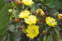 Κίτρινα λουλούδια του ανθίζοντας κάκτου Στοκ εικόνες με δικαίωμα ελεύθερης χρήσης