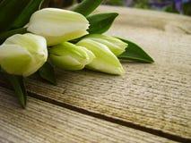 Κίτρινα λουλούδια τουλιπών στην άνθιση Στοκ Εικόνες
