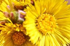 Κίτρινα λουλούδια του coltsfoot eps 8 προσθηκών διάνυσμα tussilago μορφής farfara εκεί Στοκ Εικόνα