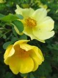 Κίτρινα λουλούδια των άγριων τριαντάφυλλων στο θάμνο Στοκ Φωτογραφίες