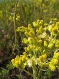 Κίτρινα λουλούδια των εγκαταστάσεων arenarium helichrysum Στοκ φωτογραφία με δικαίωμα ελεύθερης χρήσης
