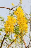 Κίτρινα λουλούδια, χρυσά λουλούδια ντους, συρίγγιο της Cassia Στοκ Εικόνα