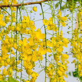 Κίτρινα λουλούδια, χρυσά λουλούδια ντους, τετραγωνικό σχήμα Στοκ Εικόνες