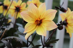Κίτρινα λουλούδια Στοκ φωτογραφίες με δικαίωμα ελεύθερης χρήσης