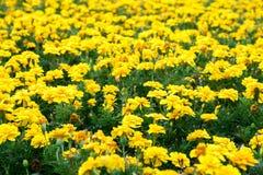 Κίτρινα λουλούδια Στοκ Φωτογραφίες
