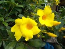Κίτρινα λουλούδια allamanda στο φράκτη στοκ φωτογραφία με δικαίωμα ελεύθερης χρήσης