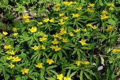 Κίτρινα λουλούδια Anemone anemone ranunculoides dof ανθών αζαλεών στενή ρηχή άνοιξη λουλουδιών επάνω Στοκ Εικόνα
