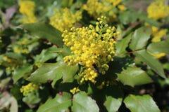 Κίτρινα λουλούδια aquifolium Mahonia με τη μέλισσα Στοκ Εικόνα