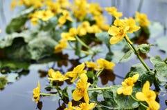 Κίτρινα λουλούδια Caltha στο σώμα του νερού στοκ φωτογραφίες