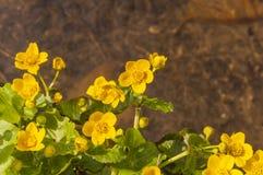Κίτρινα λουλούδια - Caltha Palustris Λ (Kingcup, Marigold έλους) στοκ εικόνες με δικαίωμα ελεύθερης χρήσης