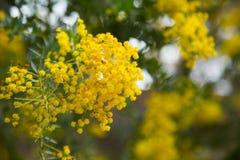 Κίτρινα λουλούδια cultriformis ακακιών στοκ φωτογραφίες με δικαίωμα ελεύθερης χρήσης