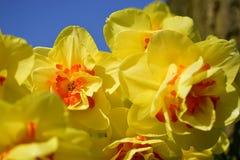 Κίτρινα λουλούδια daffodil που ανθίζουν την άνοιξη Στοκ Εικόνα