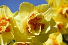 Κίτρινα λουλούδια daffodil που ανθίζουν την άνοιξη Στοκ φωτογραφίες με δικαίωμα ελεύθερης χρήσης