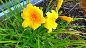 Κίτρινα λουλούδια daffodil Στοκ φωτογραφίες με δικαίωμα ελεύθερης χρήσης