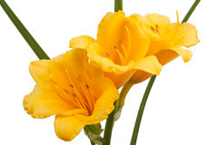 Κίτρινα λουλούδια daylily στοκ φωτογραφία με δικαίωμα ελεύθερης χρήσης