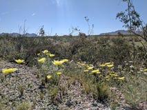 Κίτρινα λουλούδια Dessrt Στοκ Εικόνες