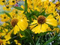 Κίτρινα λουλούδια Helenium arnica λουλούδια στον κήπο Gelenium Helenium, οικογένεια Compositae gelenium - όμορφος κίτρινος κήπος Στοκ εικόνες με δικαίωμα ελεύθερης χρήσης