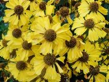 Κίτρινα λουλούδια Helenium arnica λουλούδια στον κήπο Gelenium Helenium, οικογένεια Compositae gelenium - όμορφος κίτρινος κήπος Στοκ Εικόνες