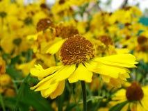 Κίτρινα λουλούδια Helenium arnica λουλούδια στον κήπο Gelenium Helenium, οικογένεια Compositae gelenium - όμορφος κίτρινος κήπος Στοκ εικόνα με δικαίωμα ελεύθερης χρήσης