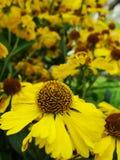 Κίτρινα λουλούδια Helenium arnica λουλούδια στον κήπο Gelenium Helenium, οικογένεια Compositae gelenium - όμορφος κίτρινος κήπος Στοκ Φωτογραφία