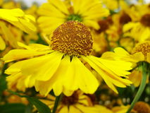 Κίτρινα λουλούδια Helenium arnica λουλούδια στον κήπο Gelenium Helenium, οικογένεια Compositae gelenium - όμορφος κίτρινος κήπος Στοκ φωτογραφία με δικαίωμα ελεύθερης χρήσης