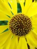 Κίτρινα λουλούδια Helenium arnica λουλούδια στον κήπο Gelenium Helenium, οικογένεια Compositae gelenium - όμορφος κίτρινος κήπος Στοκ φωτογραφίες με δικαίωμα ελεύθερης χρήσης