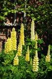Κίτρινα λουλούδια Lupine στοκ φωτογραφία με δικαίωμα ελεύθερης χρήσης