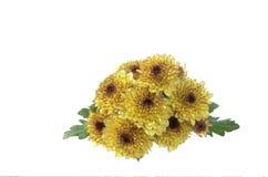 Κίτρινα λουλούδια mum Στοκ Εικόνα
