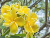 Κίτρινα λουλούδια Plumeria ή Frangipani Στοκ Φωτογραφία