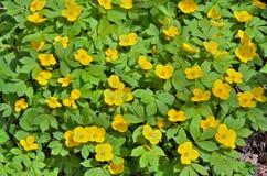 Κίτρινα λουλούδια (vernalis Hylomecon) 7 Στοκ εικόνα με δικαίωμα ελεύθερης χρήσης