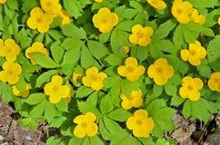 Κίτρινα λουλούδια (vernalis Hylomecon) 6 Στοκ φωτογραφία με δικαίωμα ελεύθερης χρήσης