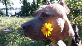 Κίτρινα λουλούδι και σκυλί Στοκ φωτογραφία με δικαίωμα ελεύθερης χρήσης