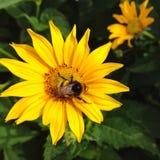 Κίτρινα λουλούδι και bumble-bee Στοκ εικόνες με δικαίωμα ελεύθερης χρήσης
