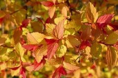 Κίτρινα, πορτοκαλιά και κόκκινα φύλλα Weigela Φλώριδα 01 Στοκ Εικόνες