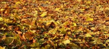 Κίτρινα πορτοκαλιά ξηρά φύλλα, χειμώνας, φυσικό υπόβαθρο φθινοπώρου οικολογίας στοκ εικόνες