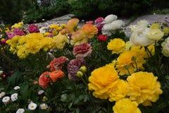 Κίτρινα πορτοκαλιά τριαντάφυλλα andwhite Στοκ Εικόνες
